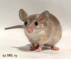 Young spiny mouse